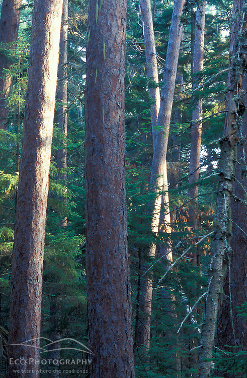 "Eustis, ME.Red Pines, Pinus resinosa, aka ""Norway Pines"" in the Cathedral Pines natural area.  This stand of trees is at least 200 years old."