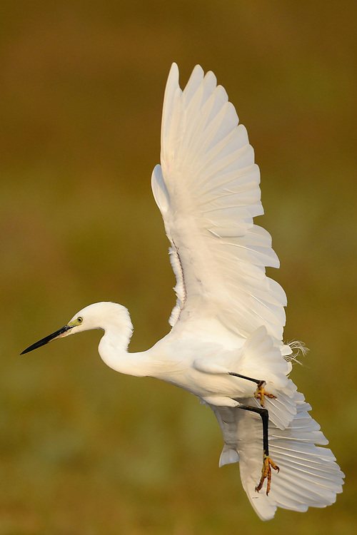 Little egret, Egretta garzetta, Pulicat Lake, Tamil Nadu, India
