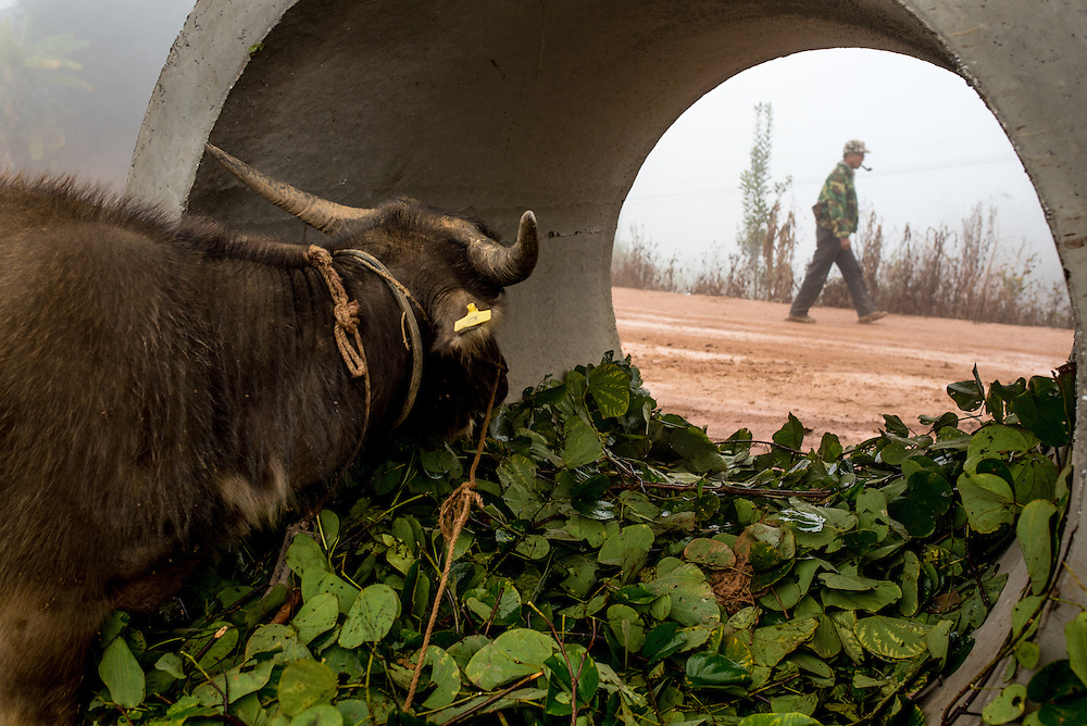 A water buffalo watches a Jinuo farmer in Basa village, Xishuangbanna, China. The Jinuo are an ehtnic minority found in Western China.
