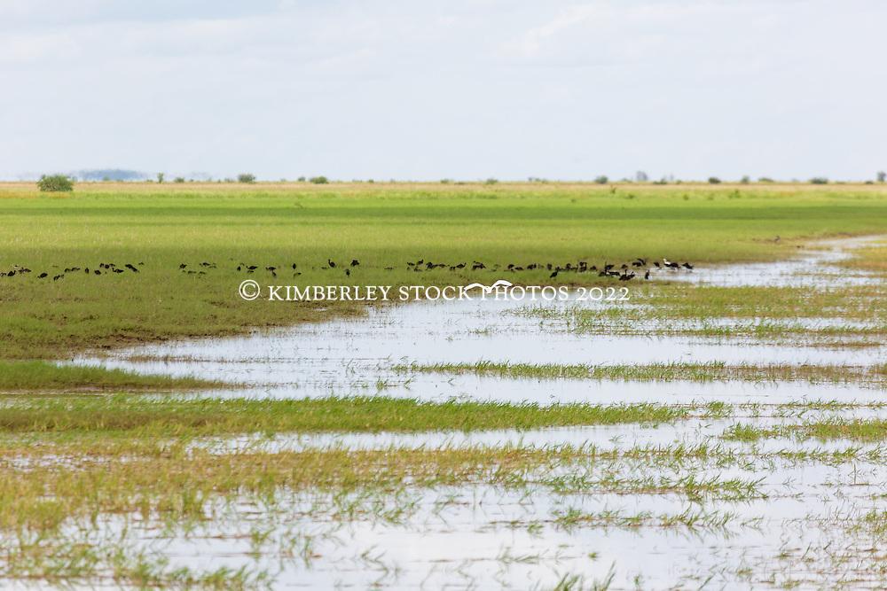 Birds flock to a floodplain on Liveringa Station in the Kimberley wet season.