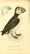 Arctic and Northern Puffin from the 1825 volume (Aves) of 'General Zoology or Systematic Natural History' by British naturalist George Shaw (1751-1813). Shaw wrote the text (in English and Latin). He was a medical doctor, a Fellow of the Royal Society, co-founder of the Linnean Society and a zoologist at the British Museum. Engraved by Mrs. Griffith
