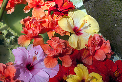 Mass of floating hibiscus blossoms.  Generic to tropical environments, particularly Hawaii.