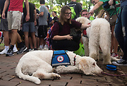 AUGUST 26, 2018  ATHENS, OHIO:<br /> A dog with Paws for Ability lies on the ground on the sidewalk in front of the recruitment table on College Green as new freshman students walk through a variety of recruitment tables from other organizations on the OU campus trying to get them to join after the freshman convocation at Ohio University on August 26, 2018 in Athens, Ohio.