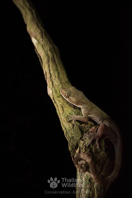 Tenasserim Spiny Tailed Bent-toed Gecko (Cyrtodactylus cf. interdigitalis) in Kaeng Krachan national park, Thailand