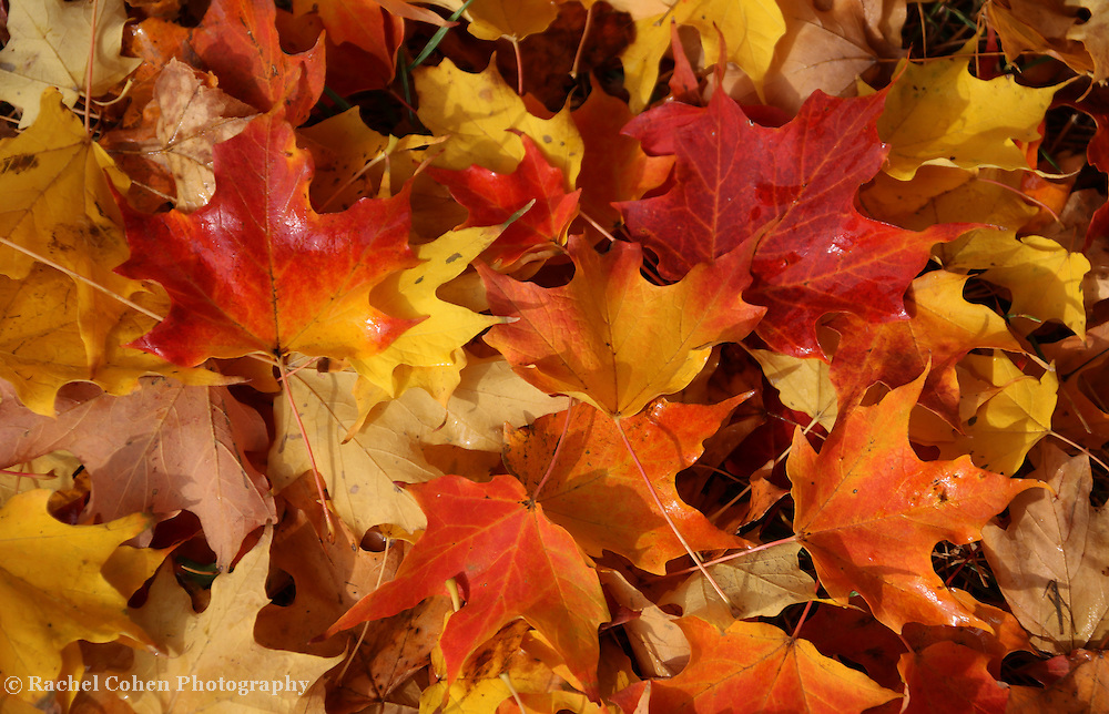 &quot;Those Magical Leaves&quot; <br /> <br /> Beautiful and colorful fall leaves! Maple leaves of red, orange, yellow, and gold!