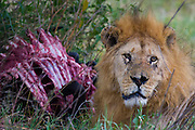 Old male lion feeding on wildebeest