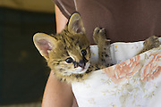 Serval<br /> Felis serval<br /> Five week old orphan serval kitten in kangaroo pouch (used to increase emotional bond with foster parent )<br /> Tanzania