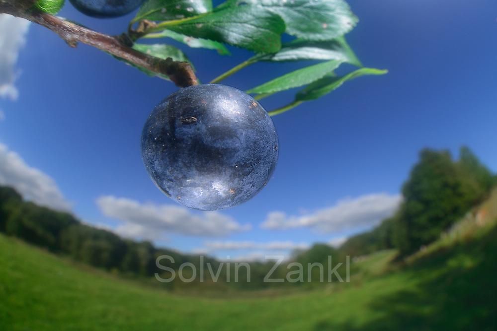 Blackthorn, Sloe (Prunus spinosa) | Gewöhnliche Schlehe (Prunus spinosa)