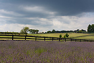 White Oak Lavender Farm 7.14.2017