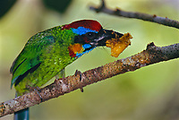 A red-crowned barbet (Megalaima rafflesii) eats a strangler fig