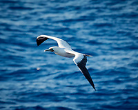 Brown Booby in flight from the deck of the MV World Odyssey.  Image taken with a Nikon 1 V3 camera and 70-300 mm VR lens (147 mm, ISO 400, f/5.3, 1/1000 sec).