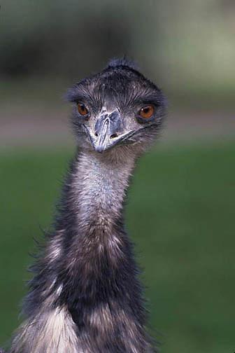 Emu, (Dromaius novaehollandiae) Australia.