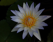 Image of a white water lily