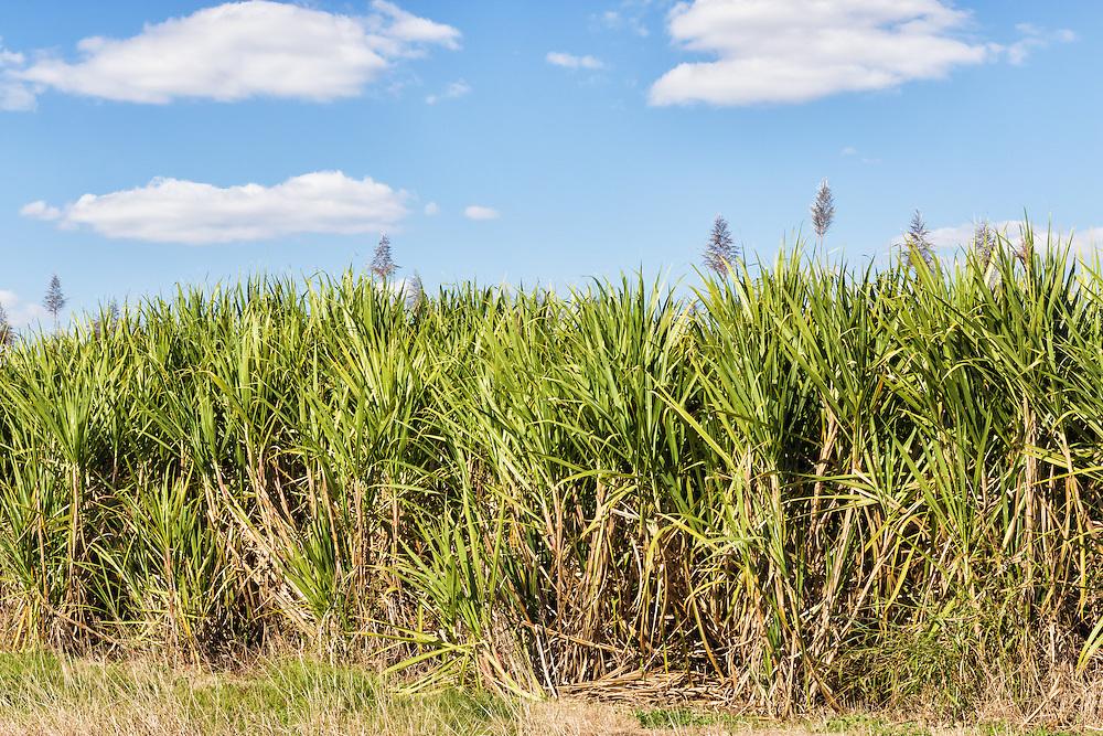 Field of sugar cane on farm under blue sky and cumulus cloud in South Kolan, Queensland, Australia