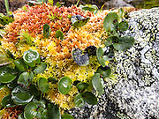 Alpine moss, lichen, and leaves grow lushly on Fannaråken mountain in Jotunheimen National Park, Sogn og Fjordane county, Norway. Hike Fannaråken mountain in Jotunheimen National Park, Norway. Walk 15 kilometers round trip with 1170 meters gain from Turtagrø Mountain Hotel to Fannaråken mountain (or Fannaråki, 2068-meters / 6785 feet elevation) in Luster municipality, Sogn og Fjordane county, Norway.