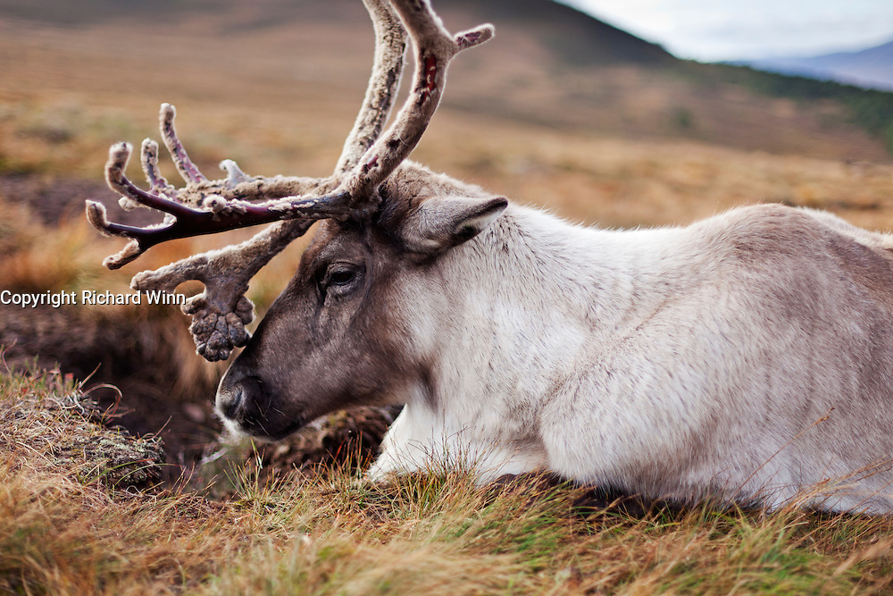 View of a reindeer while resting, from low level next to it, showing some of the surrounding landscape.