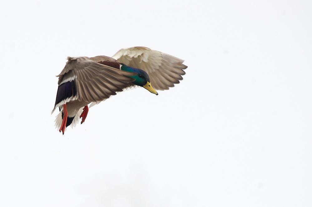A drake mallard in flight