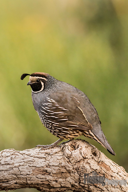 The California quail is a small ground-dwelling bird in the New World quail family. It is also the state bird of California.