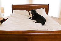 Milo the Black Labrador on the white bed.