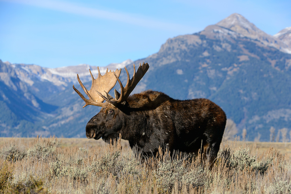 A bull moose (Alces alces) in the sage flats of Grand Teton National Park, Wyoming
