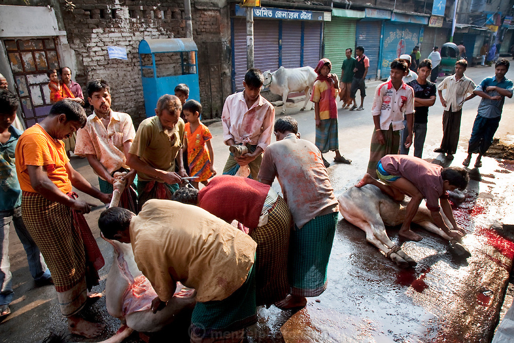 A street is covered in blood as families butcher a cow in preparation for the Eid al-Adha annual religious festival in Dhaka, Bangladesh. (From the book What I Eat: Around the World in 80 Diets.) Bangladesh has the world's fourth largest Muslim population, and during the three days of Eid al-Adha, the Festival of Sacrifice, Dhaka's streets run red with the blood of thousands of butchered cattle. The feast comes at the conclusion of the Hajj, the annual Islamic pilgrimage to Mecca. In both the Koran and the Bible, God told the prophet Ibrahim (Abraham) to sacrifice his son to show supreme obedience to Allah (God). At the last moment, his son was spared and Ibrahim was allowed to sacrifice a ram instead. In Dhaka, as in the rest of the Muslim world, Eid al- Adha commemorates this tale, and the meat of the sacrificed animals is distributed to relatives, friends, and the poor.