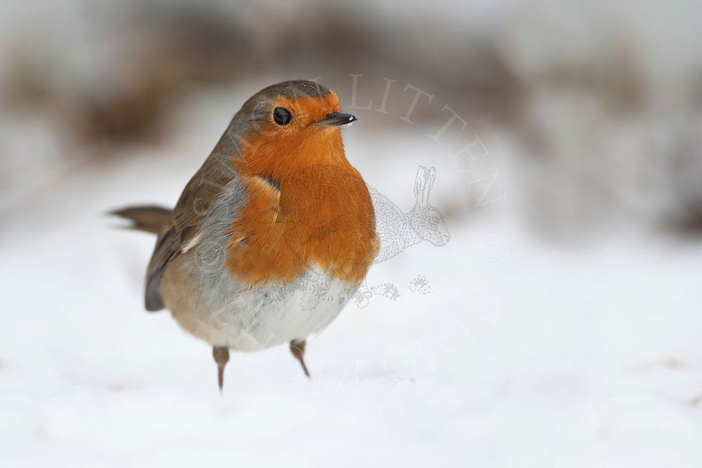 Robin (Erithacus Rubecula) on snow covered ground, winter, UK.