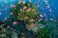 Many dozens of Anthias feed in the current around a large Cup Coral colony<br /> <br /> Shot in Indonesia