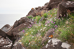 Wildflowers on the cliffs near the Lizard, Cornwall. Chives, Sheep's bit scabious and sorrel