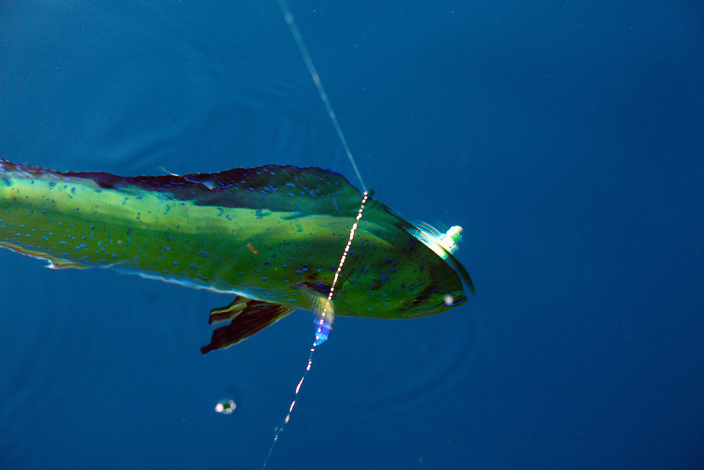 A Mahi-Mahi (or Dolphin Fish) is hooked by a fisherman in the gulf stream off of Ocracoke Island. Located at the southernmost tip of North Carolina's Outer Banks, Ocracoke Island is part of the Cape Hatteras National Seashore and has nearly 16 miles of undeveloped beaches. It is accessible only by ferry, private boat or plane.