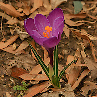 Close-up of a flowering  purple crocus in the early  spring.