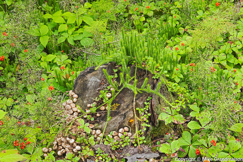 Mushrooms, horsetail, clubmoss and bunchberry in the Boreal Forest <br />
