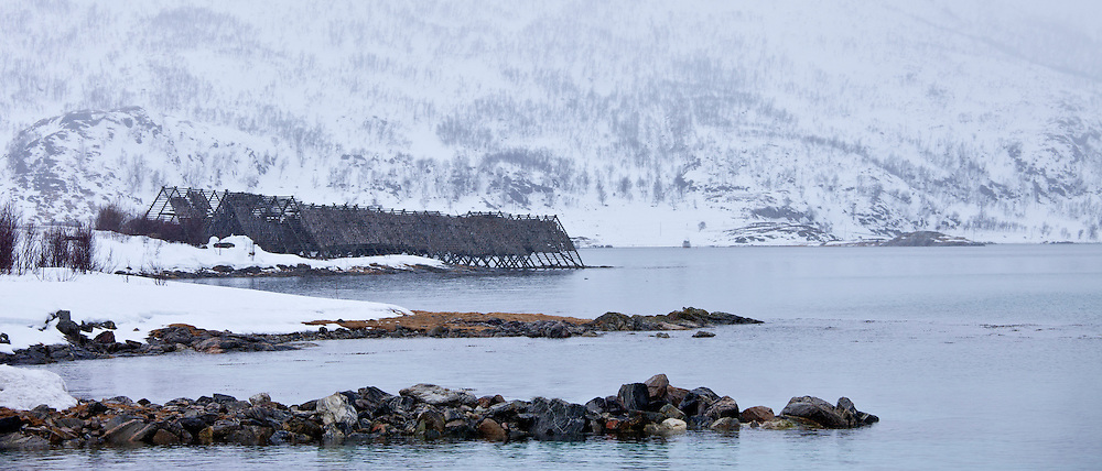 Stockfish cod drying on traditional racks, hjell, on foreshore in the Arctic Circle on Ringvassoya Island, Tromso, Northern Norway