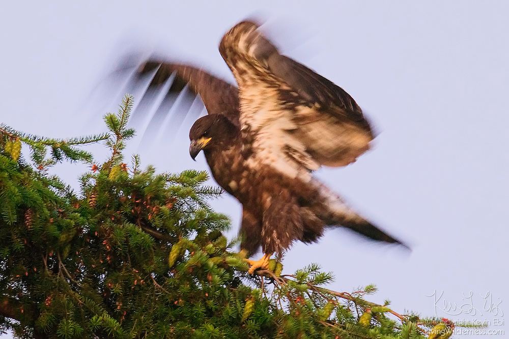 A juvenile bald eagle (Haliaeetus leucocephalus) exercises its wings by tightly grabbing a branch with its talons and flapping its wings. The fledgling's motion is blurred by a long exposure. At the time of this image, the young eagle was about two and a half months old and had been flying for a little over a week.