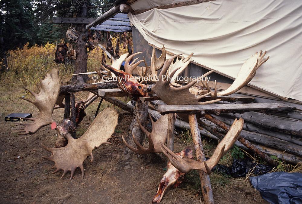 Moose, Moose Antlers, Poaching Case, Poaching, Poach, Poacher, Helicopter, Denali National Park, Alaska