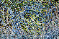 Reeds / grasses growing in the foothills of the Sandia mountains near Albuquerque, New Mexico, USA.