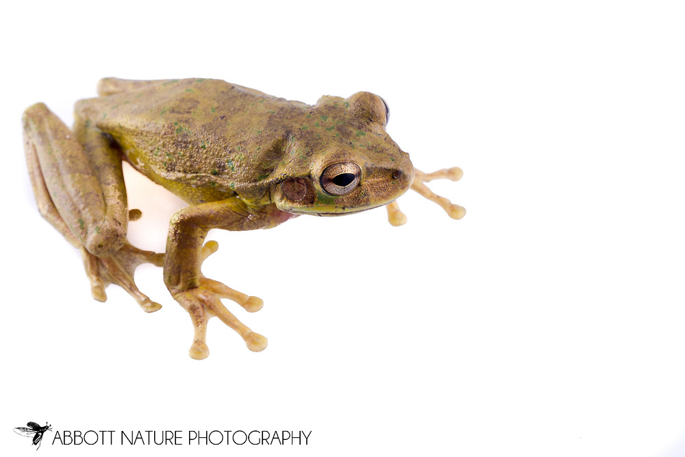 Mexican Treefrog (Smilisca baudinii)<br /> BELIZE: Cayo District <br /> Ian Anderson's Caves Branch Lodge near Armenia<br /> 7-Sep-2014<br /> J.C. Abbott &amp; K.K. Abbott