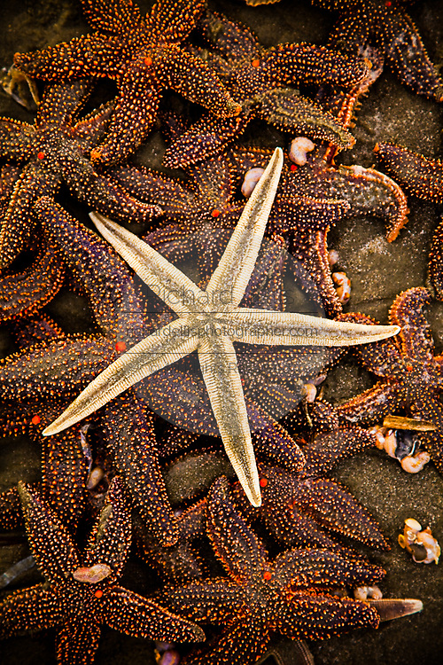 Pile of sugar starfish (Asterias rubens) on Isle of Palms beach near Charleston, SC.
