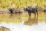 African Buffalo AKA Cape Buffalo (Syncerus caffer) in waterpool, Serengeti National Park, Tanzania