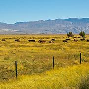 Cattle grazing. Bishop. California, USA.