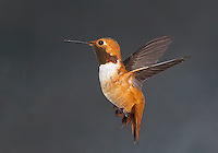Rufous Hummingbird, male