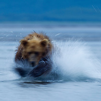 USA, Alaska, Katmai National Park, Hallo Bay, Blurred image of Brown Bear (Ursus arctos) chasing salmon in shallow stream at dusk on summer evening