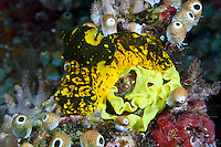 Nudibranchs are hermaphrodites and each individual has both make and female sexual organs.  Mating pairs swap sperm and then lay eggs in ribbon-like masses.  Nudibranchs illustrate their toxic nature with bright colors and markings.