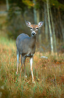 White tailed deer Odocoileus virginianus in fall