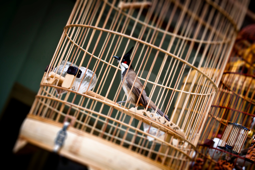A caged bird (red whiskered bulbul) at a cafe in Hanoi, Vietnam