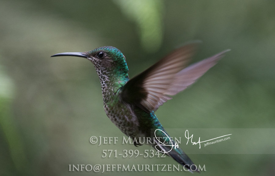 A Green-crowned brilliant hummingbird in flight in the cloud forest.