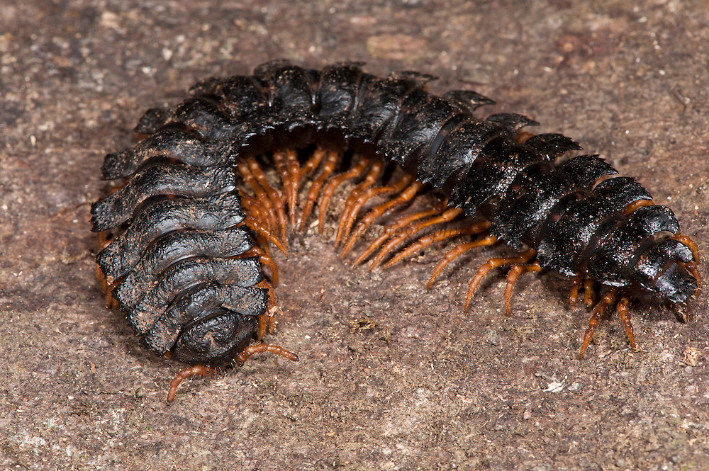 Millipede (Barydesmus sp.)<br /> Yasuni National Park, Amazon Rainforest<br /> ECUADOR. South America