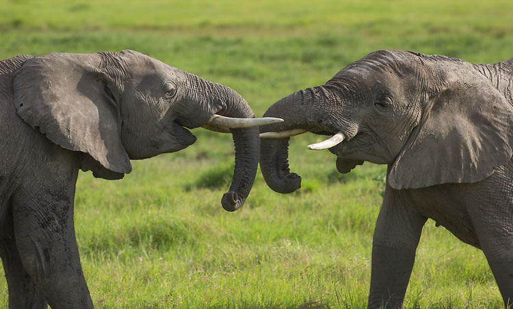 Young elephants building confidence by playing and socializing together.