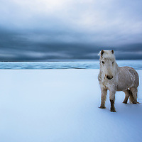 Beautiful Icelandic horse in a winter wonderland.