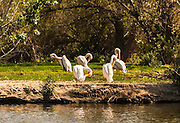 A group of white pelicans all grooming at the same time on an island