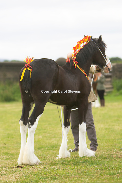 Mr S Cross &amp; Miss N Cross's Black Filly  Crossingtons Inkatink  f 2012<br />